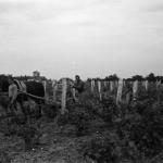 Tiraspol stropitul viei iunie 1943